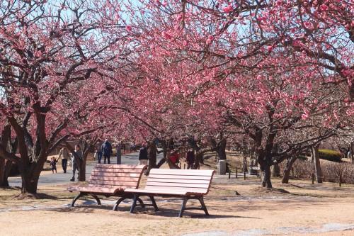 梅の木とベンチ