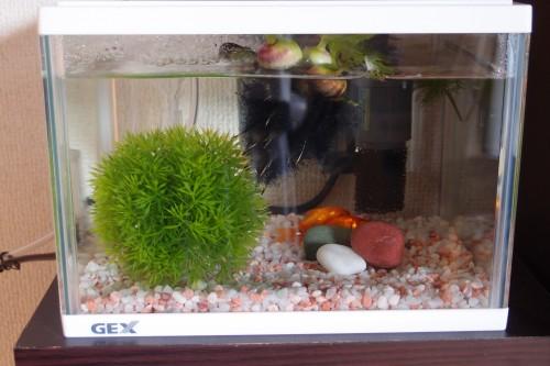 水槽に入った金魚