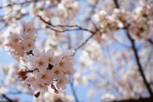 子連れで楽しめるいわきの桜の名所3選