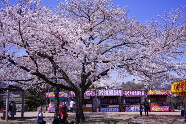 松ヶ岡公園の桜と屋台