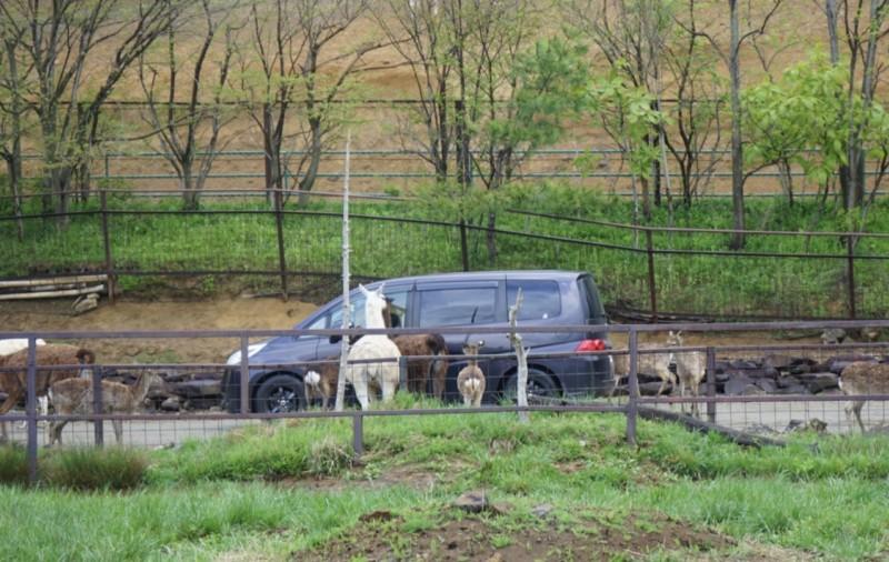 東北サファリパーク 草食動物に囲まれる車