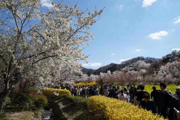 花見山へ向かう人々