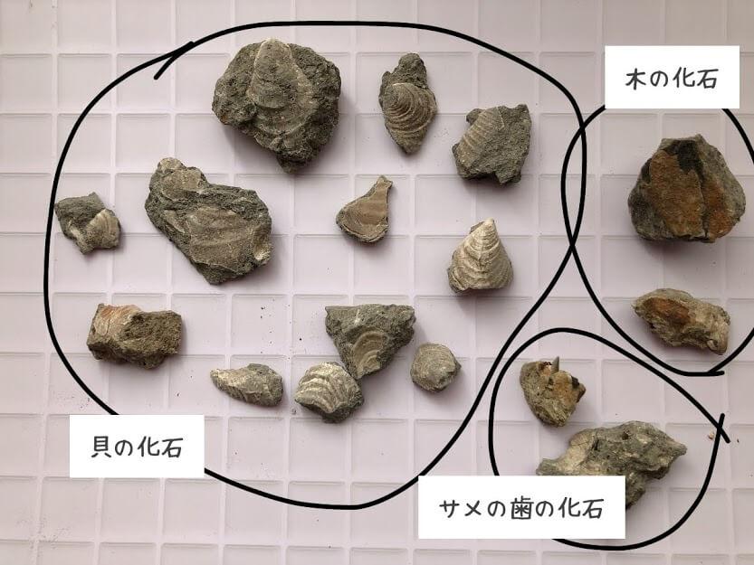 いわき市アンモナイトセンターの化石発掘体験